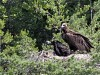vautour_3805
