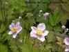 RB-anemone-du-japon